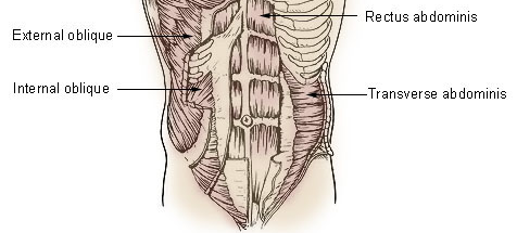 Abdominal-Musculature